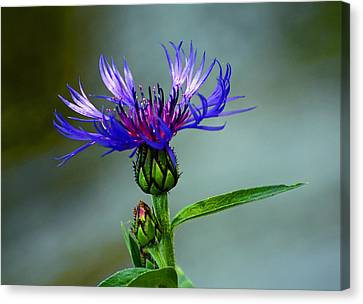 Canvas Print featuring the photograph Cornflower by Rodney Campbell