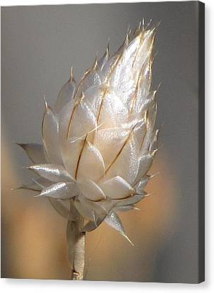 Cornflower Seed Pod Canvas Print by Michele Penner