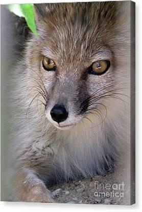 Canvas Print featuring the photograph Corsac Fox- Vulpes Corsac 03 by Ausra Huntington nee Paulauskaite