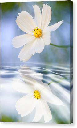 Cosmea Flower - Reflection In Water Canvas Print by Silke Magino