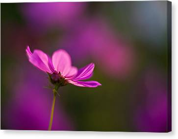 Cosmo Impression Canvas Print by Mike Reid