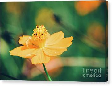 Canvas Print featuring the photograph Cosmos  by Andrea Anderegg