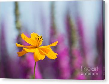 Cosmos Polidor Flower Canvas Print by Tim Gainey