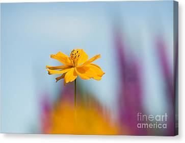 Cosmos Polidor  Canvas Print by Tim Gainey