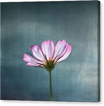 Cosmos - Summer Love Canvas Print by Kim Hojnacki