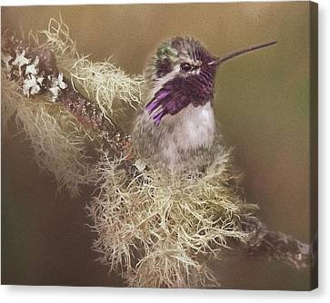 Costas Hummingbird Painted Canvas Print