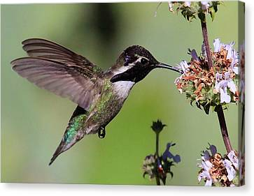 Costa's Hummingbird Canvas Print