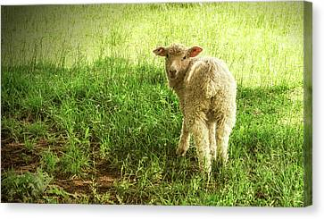 Cotswold Sheep Canvas Print by Jim Cook