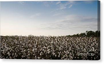 Cotton Field 2 Canvas Print by Andrea Anderegg