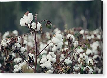 Cotton Field 5 Canvas Print by Andrea Anderegg