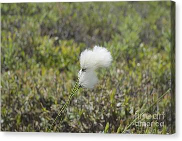 Cotton Grass -eriophorum Virginicum- Canvas Print by Erin Paul Donovan