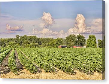 Canvas Print featuring the photograph Cotton Hasn't Flowered Yet by Jan Amiss Photography