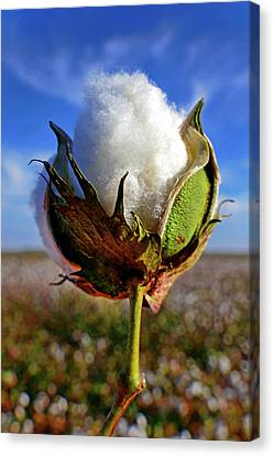 Cotton Pickin' Canvas Print by Skip Hunt