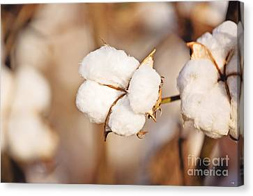 Cotton Plant Canvas Print by Scott Pellegrin