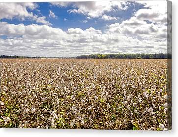 Cotton Sky Over Cotton Fields - Frogmore Plantation Canvas Print by Frank J Benz