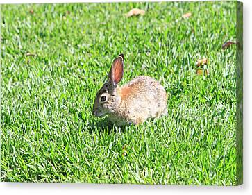 Cotton Tail Canvas Print by Shoal Hollingsworth