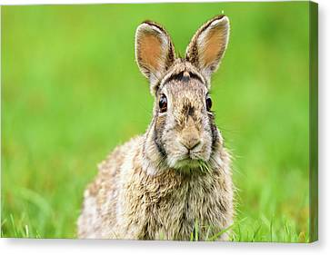 Cottontail Rabbit Canvas Print