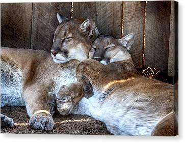 Nature Center Canvas Print - Cougar Brothers by John Haldane