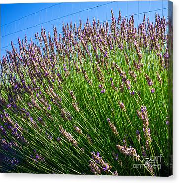 Country Lavender I  Canvas Print by Shari Warren