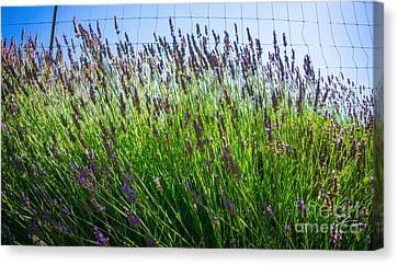 Country Lavender II Canvas Print by Shari Warren
