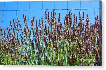 Country Lavender IIi Canvas Print by Shari Warren
