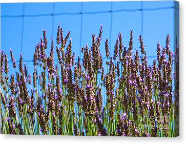 Country Lavender Iv Canvas Print by Shari Warren