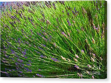 Country Lavender Vi Canvas Print by Shari Warren
