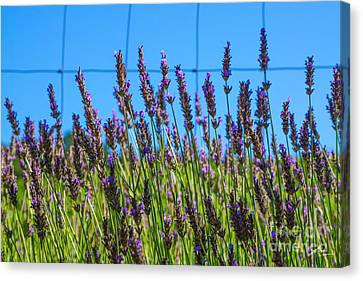 Country Lavender Vii Canvas Print by Shari Warren