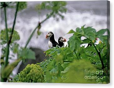 Couple Of Puffins Perched On A Rock Canvas Print by Sami Sarkis