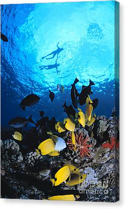 Couple Snorkels At Surfac Canvas Print by Ed Robinson - Printscapes