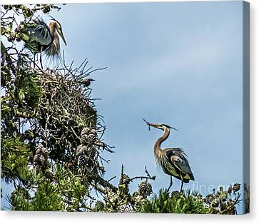 Courting Herons 1 Canvas Print by Kate Brown