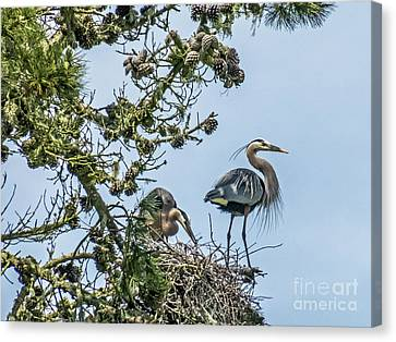 Courting Herons 2 Canvas Print by Kate Brown