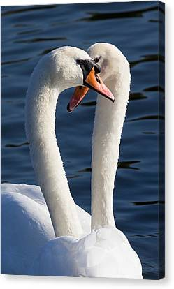 Courting Swans Canvas Print by David Pyatt