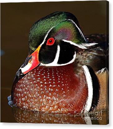Courtship Colors Of A Wood Duck Drake Canvas Print by Max Allen