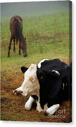 Cow And Horse Canvas Print by Gaspar Avila