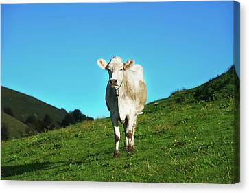 Cow And Mountains Canvas Print