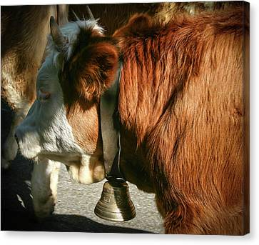 Cow Beautiful - Canvas Print