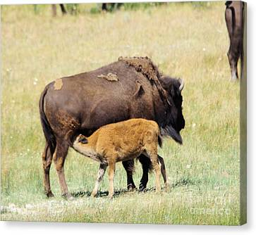 Bison Heard Canvas Print - Cow Bison And Her Calf by Jeff Swan
