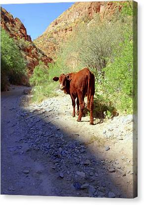 Cow In The Canyon Canvas Print by Susan Lafleur