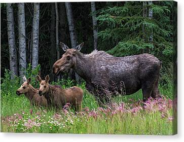 Cow Moose And Twin Calves Canvas Print