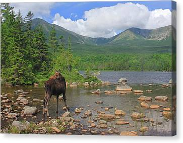 Cow Moose Looking Back At Sandy Stream Pond Canvas Print by John Burk