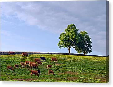Cow Pasture Canvas Print by David Freuthal