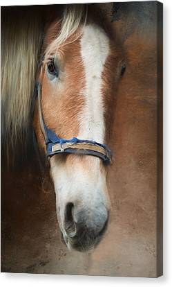 Canvas Print featuring the photograph Cow Pony by Robin-Lee Vieira