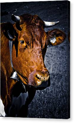 Cow Portrait Canvas Print by Frank Tschakert