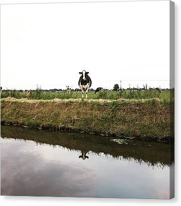 Cow Reflection Canvas Print