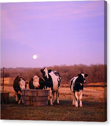Cows At Sunset Delano Minnesota Canvas Print by Panoramic Images