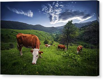 Cows Canvas Print by Bess Hamiti