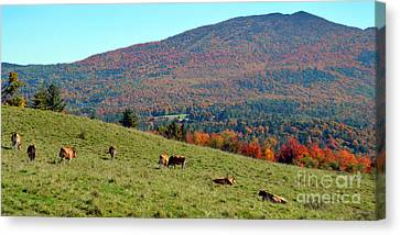 Cows Enjoying Vermont Autumn Canvas Print by Catherine Sherman