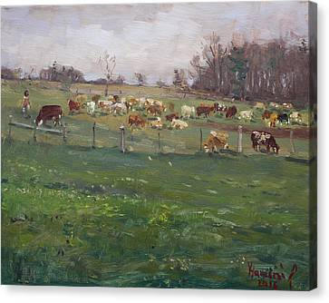 Cows In A Farm, Georgetown  Canvas Print by Ylli Haruni