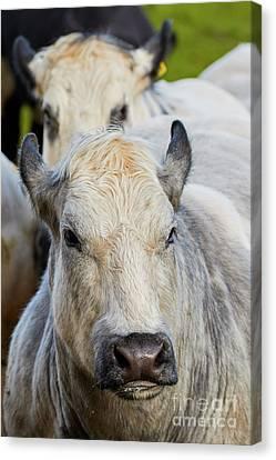 Cows In A Row Canvas Print